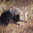 Coyotes are not evenly distributed throughout their range in the Southeast and seek habitat niches where food sources are abundant Photo by istockphoto