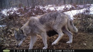 wolf hunting in wisconsin