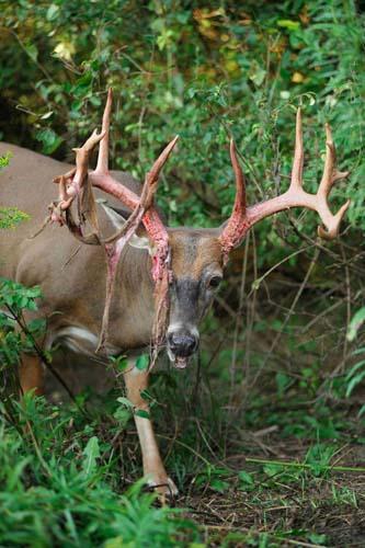 Alsheimer Deer & Deer Hunting