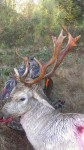Chad Wolbach's fallow deer killed in west-central Alabama last Friday.