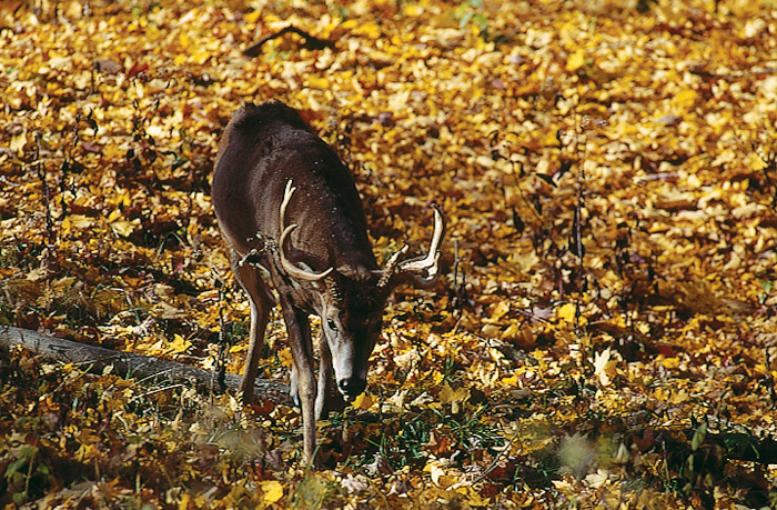 Whitetail deer scent control