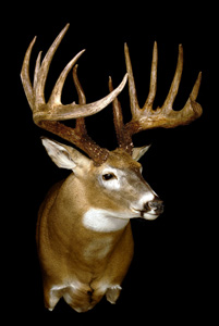 The King buck