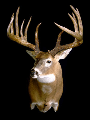 A mount displays a replica of the famous King buck.
