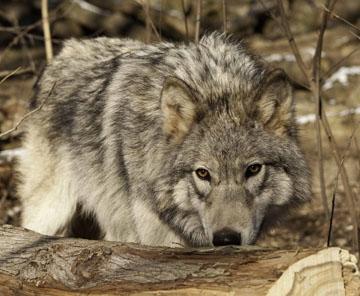 20120124_wolf