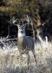 220px-Quivira-Whitetail-Buck
