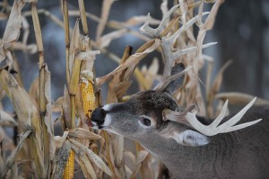 Standing corn is a deer magnet during the late season. (Photo copyright Charles J. Alsheimer)