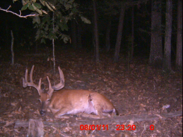 Incredible whitetail deer pictures: Coyotes kill buck