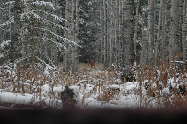 Deer & Deer Hunting Editor spies his first buck on the Saskatchewan trip.