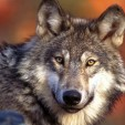 Gray wolf. (US Fish & Wildlife Service)
