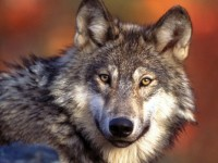 Arguments Made to Support States' Rights in Wolf Case