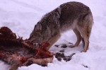 coyote predation - whitetail deer hunting