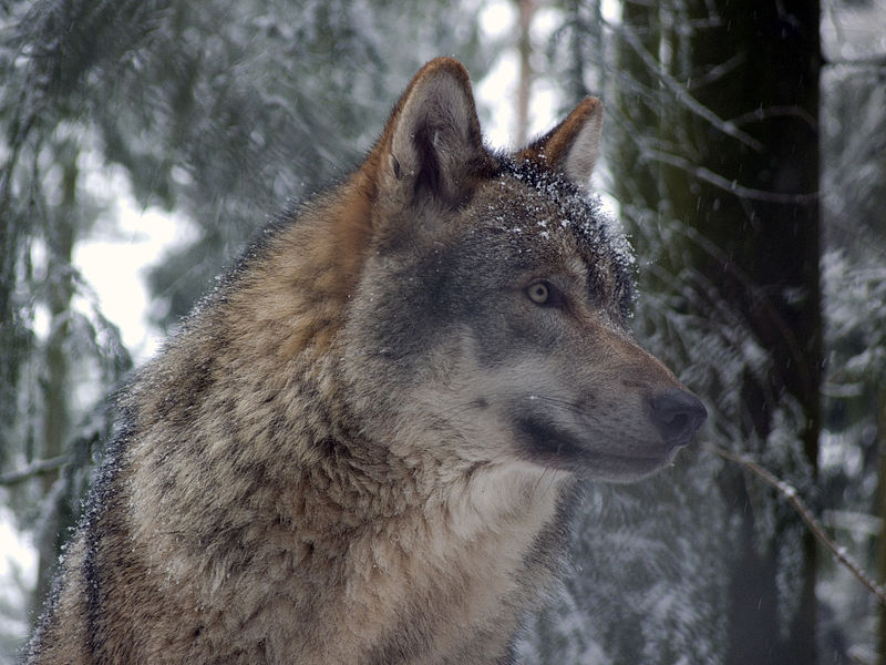 wolf hunting season