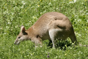 stray wallaby