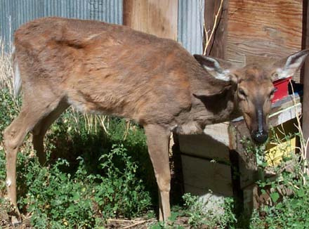 Pennsylvania officials are looking for a deer that escaped an enclosure where another deer died of CWD. (Photo: PSU)