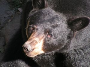 Black bear attacks hunter