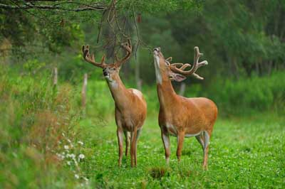 Alsheimer Deer and Deer Hunting