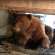 A Giant Brown Bear