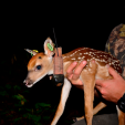 Research at the Auburn Deer Lab includes collaring deer of all ages for tracking and data studies.