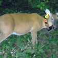 Alabama orange collared deer