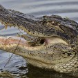 Can alligators eat a whole deer? Apparently one giant gator did in Alabama.