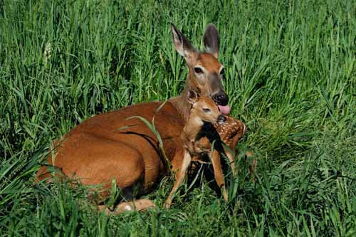 Charles Alsheimer has been documenting fawn births for more than 30 years. On Sunday, he found the year's first fawn — born to this doe just a short time before he snapped the picture. (Photo copyright Charles J. Alsheimer)