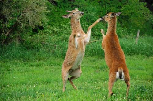 Alsheimer deer and deer hunting