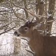 BUCK buck 6 in snow