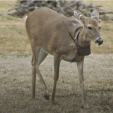 Biologists are tracking movements by deer trapped and outfitted with GPS collars. The five-year study will help guide white-tailed deer management in Missouri. Photo courtesy Missouri Department of Conservation