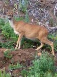 Blacktail Deer Oregon