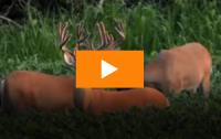 Fight! Fight! Big Velvet Bucks Get Busy Slamming Antlers