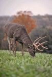 Buck Food Plot
