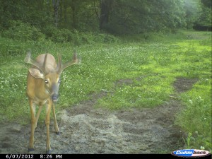 Buck at a mineral site