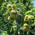 Chestnuts 3