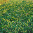 A well-planned clover plot can yield results for years and give deer, turkeys and other wildlife nutritious forage.