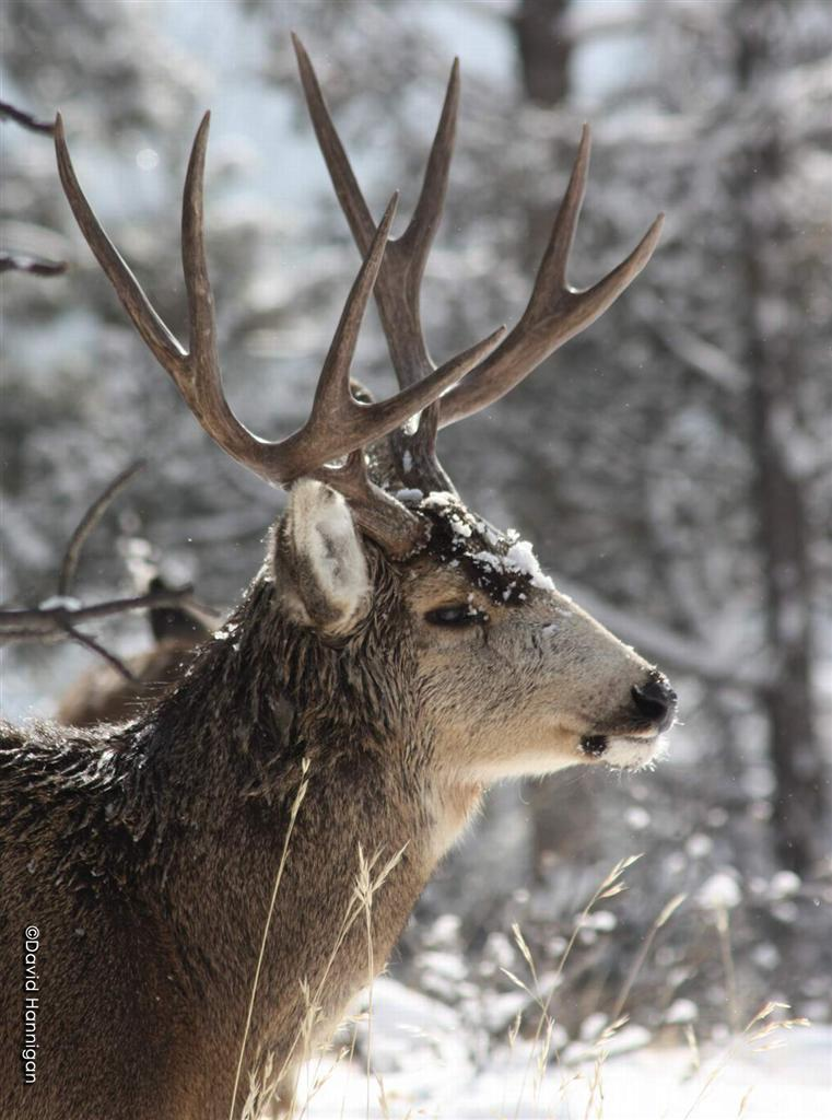 Declining numbers of mule deer have organizations, state agencies and hunters concerned about future population growth.