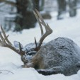 Copyright Charles Alsheimer Deer in Cold
