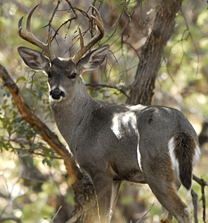 Arizona Coues deer (Photo: AGFD)