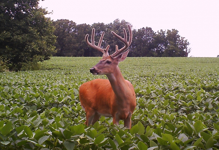 Covert Camera Buck in Soybeans