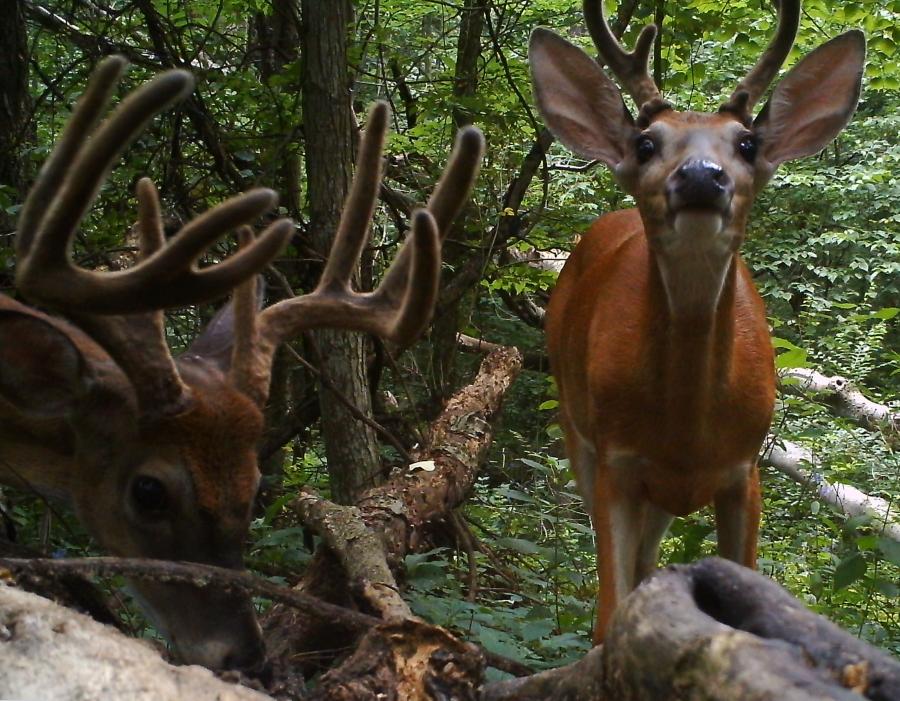 Covert Deer