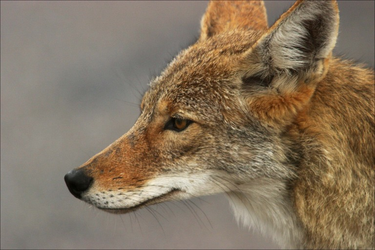 Coyotes have an incredibly sensitive nose.