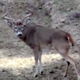 Crossbow Buck