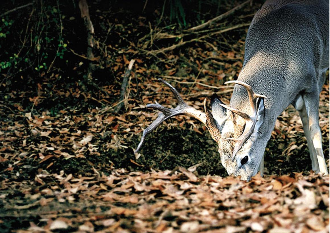 deer-buck-evolved1