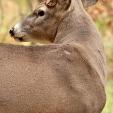 DEER  Buck at extreme angle