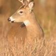 DEER  Small forkhorn buck