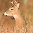 Young bucks learn from older bucks, including about how to avoid humans and to capitalize on repetition and routines such as at hunting camps or on farms.