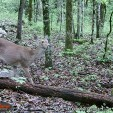 As many as 25 percent of the deer in the eastern United States are believed to be infected with the parasite that causes malaria. (Photo: Alan Clemons)