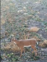 7 Killer Bowhunting Tips: Using Deer Decoys