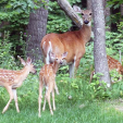 DEER  doe with fawns via Minnesota DNR