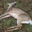 Chronic Wasting Disease is always fatal and is found in two dozen states and Canadian provinces. (Photo: Wisconsin DNR)