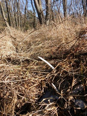 Deer antler shed frozen in puddle